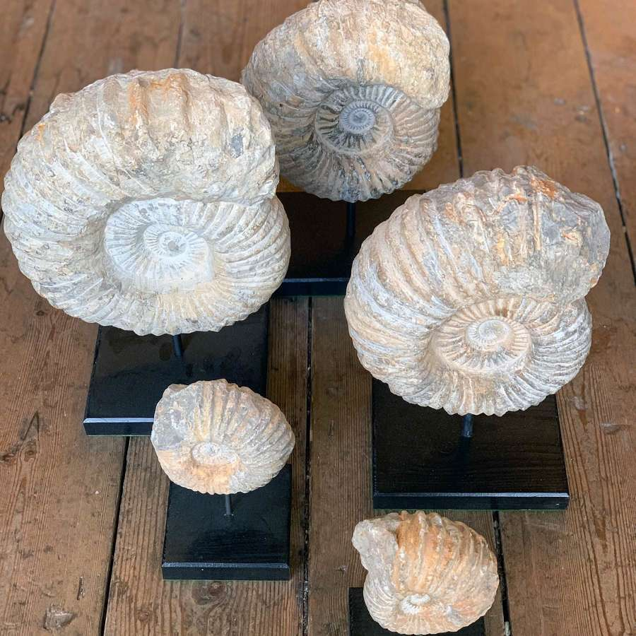 AMMONITES ON STANDS